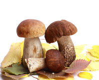 Alaranjado-tampão do cogumelo Imagens de Stock Royalty Free