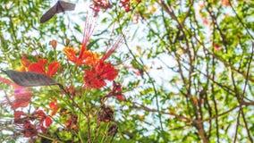 Alargamento da lente com a flor do pulcherrima do Caesalpinia Imagens de Stock Royalty Free