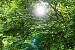 Alargamento de Sun através das árvores verdes frondosas da mola Fotografia de Stock