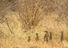 Alarm in Banded Mongoose family. The Banded Mongooses like to stand upright on their back legs to be able to get a better view allowing them to know the location Royalty Free Stock Photography