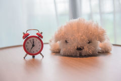 A alarm clock with cute white dog  doll on the wooden table and white curtains in the morning Stock Photography