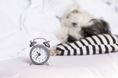 alarm clock on a sleeping dog background royalty free stock image