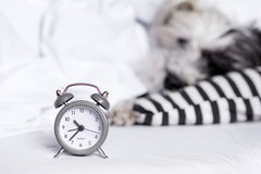 Alarm clock on a sleeping dog background Royalty Free Stock Photo