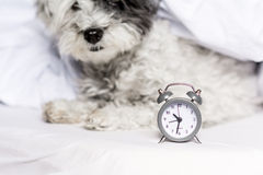 Alarm clock on a sleeping dog background royalty free stock images