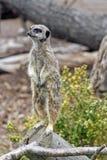 Alarm meerkat Stock Fotografie
