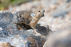 Alarm. A Pika with mouth open sounds the alarm stock photos