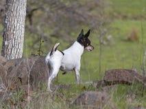 Alarm Toy Fox Terrier, wenn seine Ranch patrouilliert wird lizenzfreie stockfotos