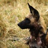 Alarma africana del perro salvaje para la acción Imágenes de archivo libres de regalías