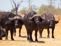 Alarma de los búfalos Imagen de archivo