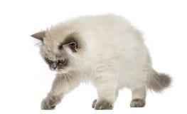 Alarma de pelo largo británica del gatito, mirando abajo, 5 meses Imagen de archivo libre de regalías