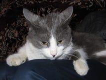 Alarma del gato Imagen de archivo libre de regalías