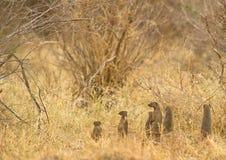 Alarme na família unida do Mongoose Fotografia de Stock Royalty Free