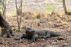 Alarmed Komodo dragon Royalty Free Stock Images