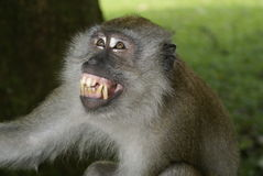 Alarmed monkey expression Royalty Free Stock Photography