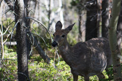 Alarmed Mule Deer in Glacier National Park Royalty Free Stock Photos