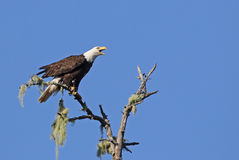 Alarmed Tofino Bald Eagle Stock Image