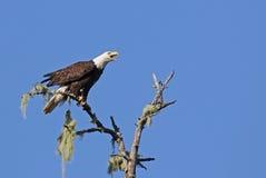 Alarmerade Tofino skalliga Eagle fotografering för bildbyråer