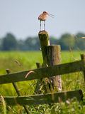 Alarming Black-tailed Godwit. Sitting on pole Stock Images