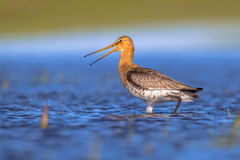 Alarming Black tailed Godwit shouting Stock Images