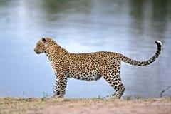 Alarmleopard Lizenzfreies Stockfoto