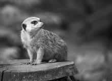 Alarmsuricate oder meerkat Stockfotografie