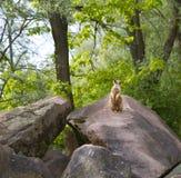 Alarmsuricate oder meerkat in der Natur Lizenzfreies Stockfoto