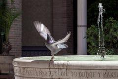 Alas de extensión de la paloma en una fuente con el agua dulce Foto de archivo libre de regalías
