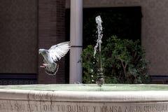 Alas de extensión de la paloma en una fuente con el agua dulce Imágenes de archivo libres de regalías