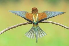 alas de extensión del Abeja-comedor Foto de archivo libre de regalías