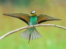 alas de extensión del Abeja-comedor Imagen de archivo libre de regalías