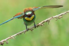 alas de extensión del Abeja-comedor Foto de archivo