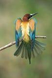 alas de extensión del Abeja-comedor Imagenes de archivo