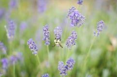 Alas de extensión de la abeja en las flores Imagenes de archivo