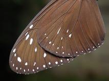Alas de la mariposa Imagen de archivo