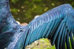 Alas de las plumas azules feas del pájaro del buitre Foto de archivo libre de regalías