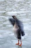Alas de un aleteo del pato salvaje fotografía de archivo