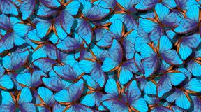 Alas de una mariposa Morpho Vuelo del fondo abstracto de las mariposas azules brillantes imagen de archivo
