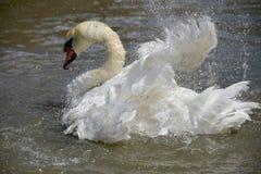 Alas del aleteo del cisne en el Swannery de Abbotsbury Imagen de archivo libre de regalías