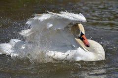 Alas del aleteo del cisne en el Swannery de Abbotsbury Foto de archivo libre de regalías