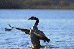 Alas del aleteo del ganso en agua fotografía de archivo