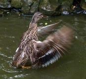 Alas del aleteo del pato del pato silvestre en una charca imagen de archivo