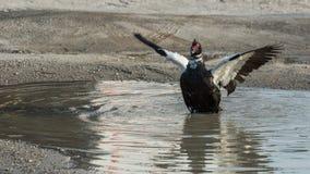 Alas del aleteo del pato de Muscovy en charco fotos de archivo