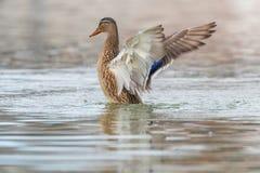 Alas del aleteo del pato salvaje, platyrhynchos femeninos de las anecdotarios del pato silvestre foto de archivo