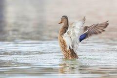 Alas del aleteo del pato salvaje, platyrhynchos femeninos de las anecdotarios del pato silvestre imagen de archivo libre de regalías