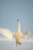 Alas del cisne en nieve Fotografía de archivo libre de regalías
