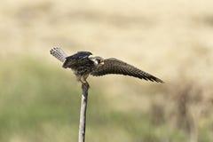 Alas hermosas de la extensión del pájaro en naturaleza Imágenes de archivo libres de regalías
