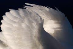 Alas hermosas de un cisne Fotografía de archivo
