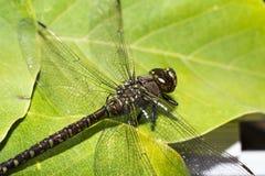 Alas y cuerpo de la libélula Foto de archivo