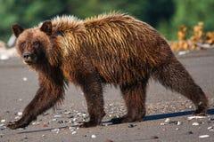 Alaska湖克拉克国家公园棕熊走 库存图片