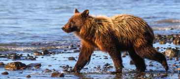 Alaska湖克拉克年轻布朗北美灰熊走 库存照片